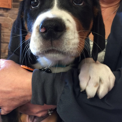 Charlie Lhotka Swiss Mountain Dog